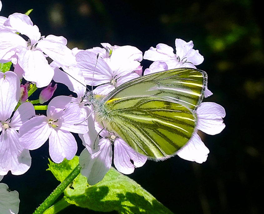 Schmetterling an der Nister, Wilhelmsteg, Kroppacher Schweiz, Westerwald